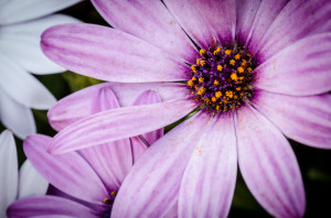 purpleflowercloseup