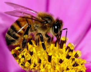 Honey Bees_FEATURED