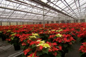Bell Nursery Poinsettias