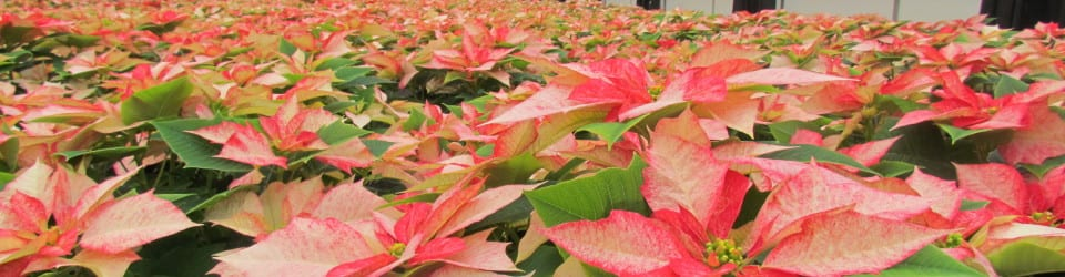 Bell Nursery Monet Poinsettias