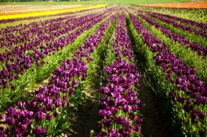 PurpleTulips