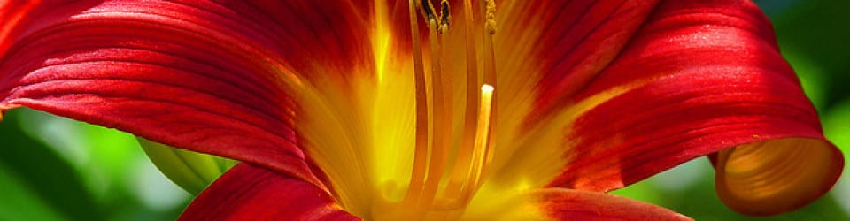 Daylily - Consumer Floral Desires