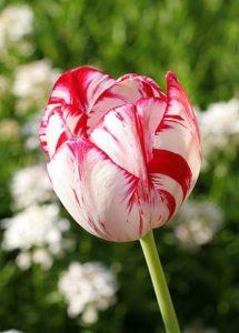redwhitetulip