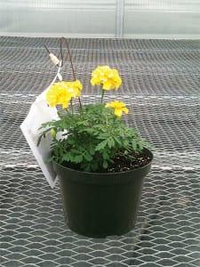 Marigold Guardian Plant