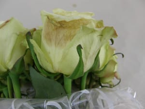 Cut Rose with Botrytis