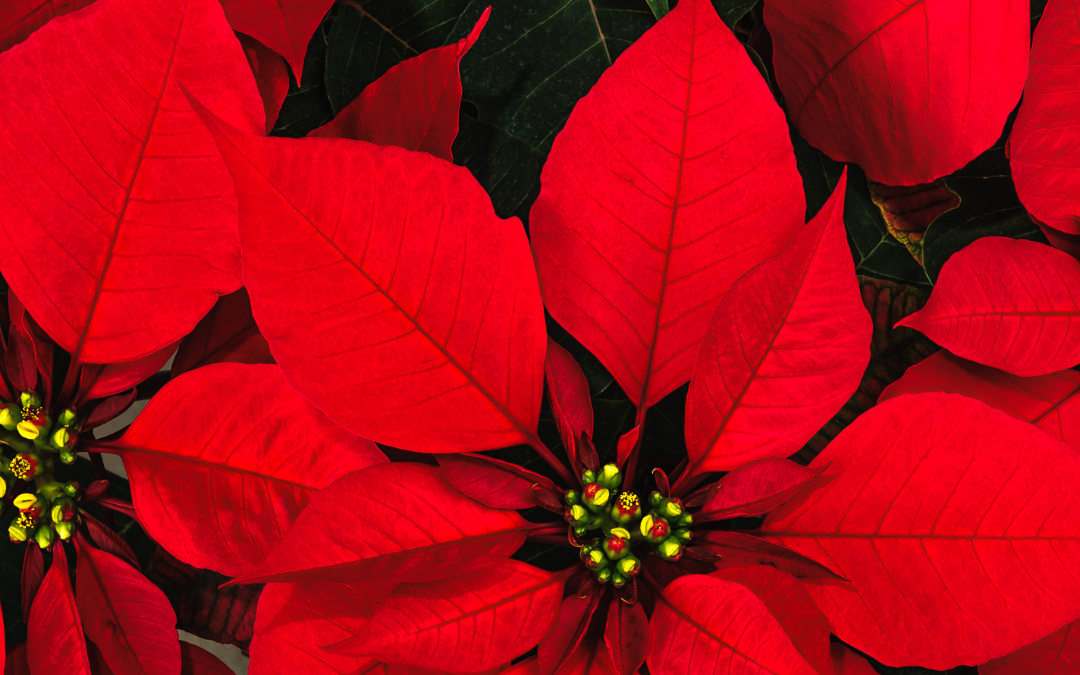 Successful Poinsettia Packing, Shipping, and Handling